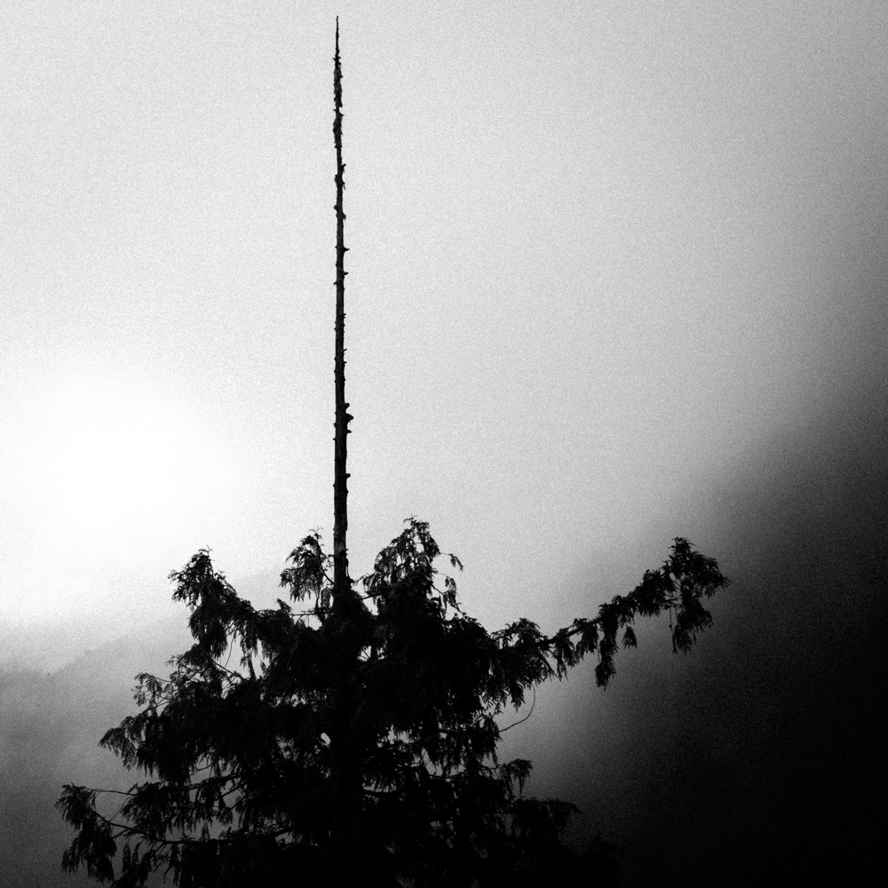 Tree, Hurricane Ridge, Olympic National Park, May 2017