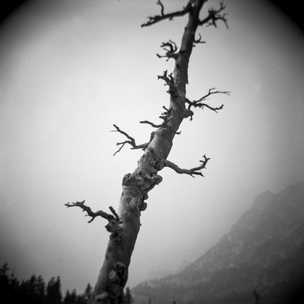 Tree, Alpine Lakes Wilderness, 2017