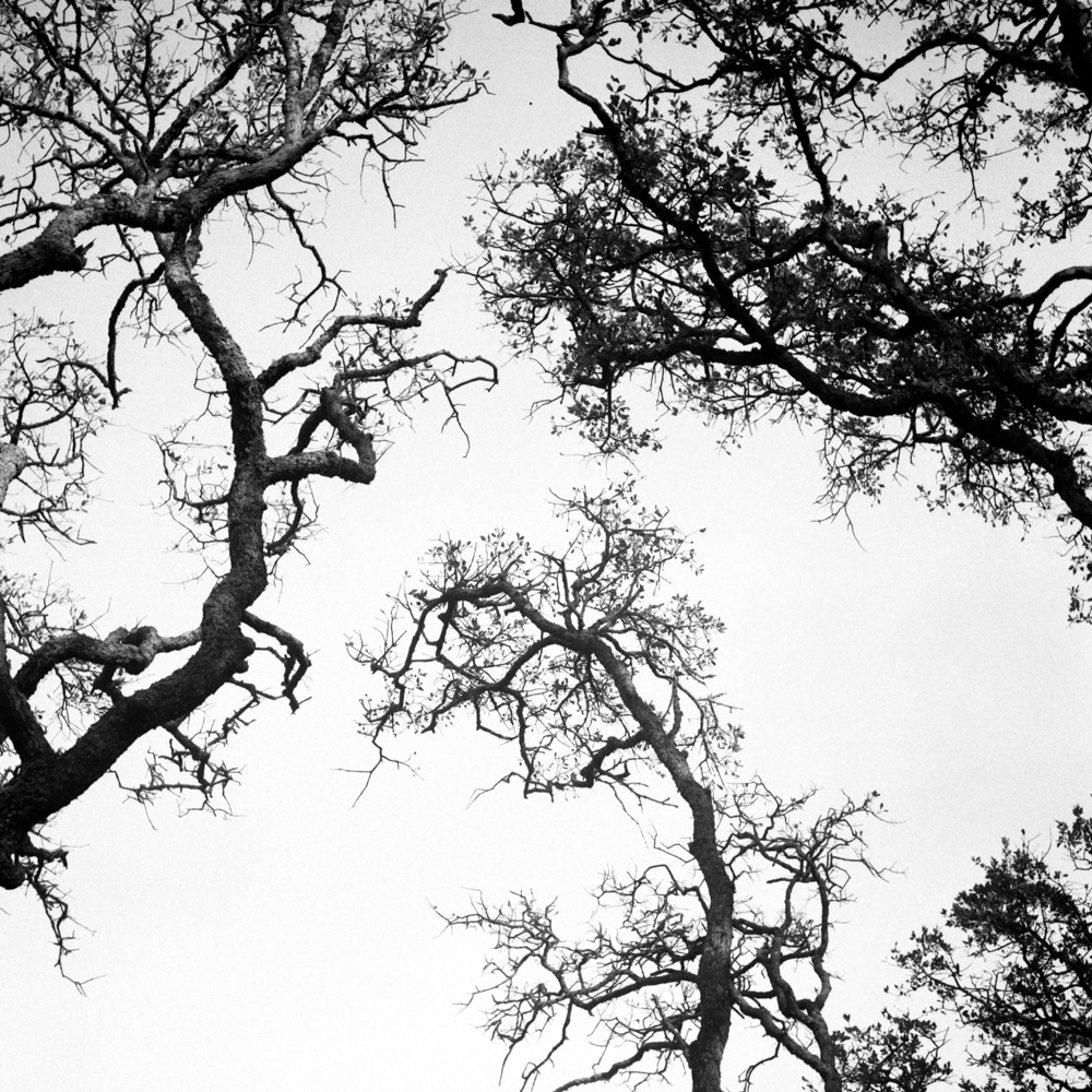 Trees, Sonoma, November 2017