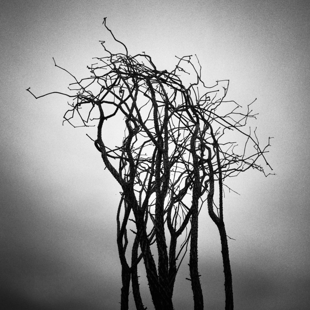 Ocotillo, Joshua Tree, November 2017