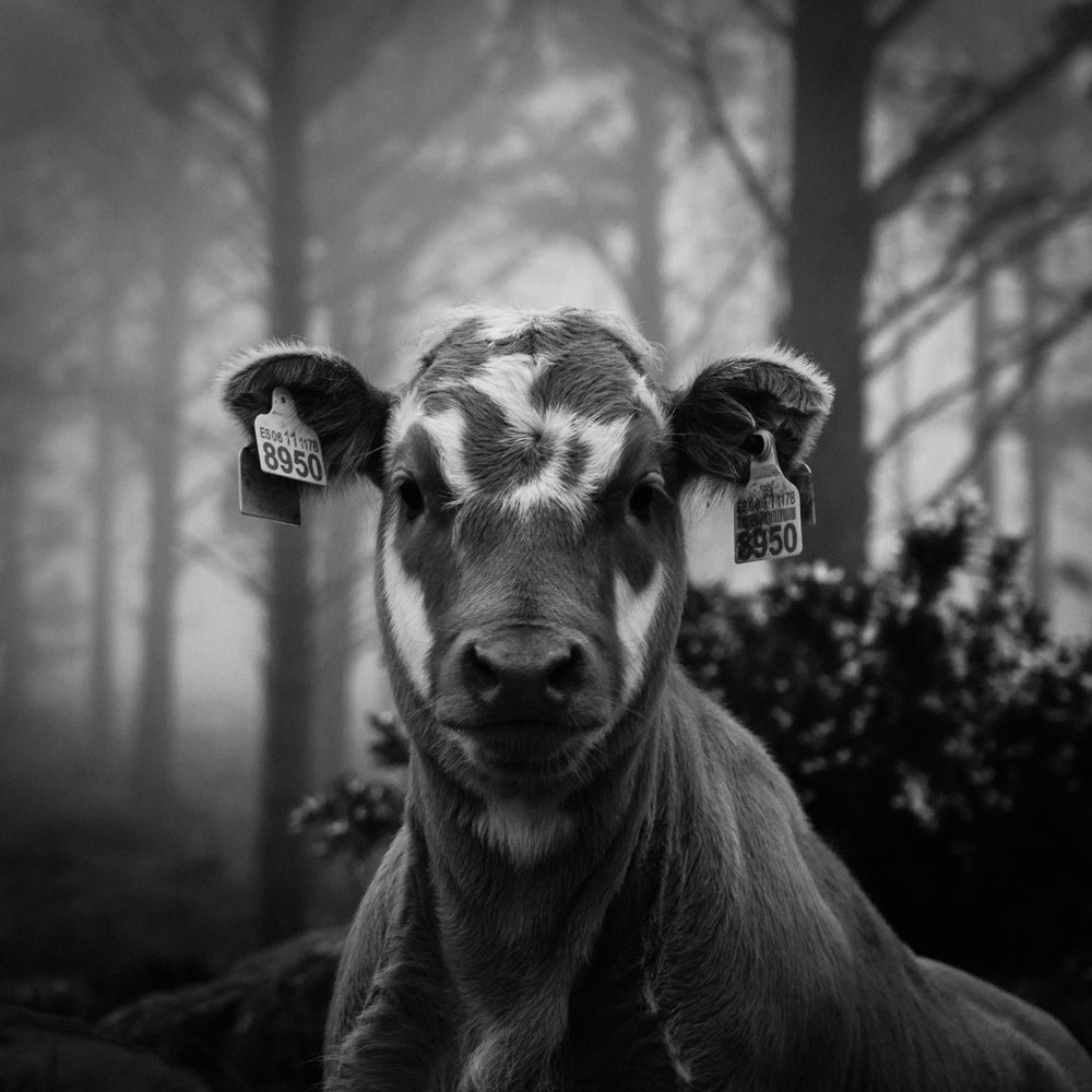 Cow, San Andres de Teixido, June 2018