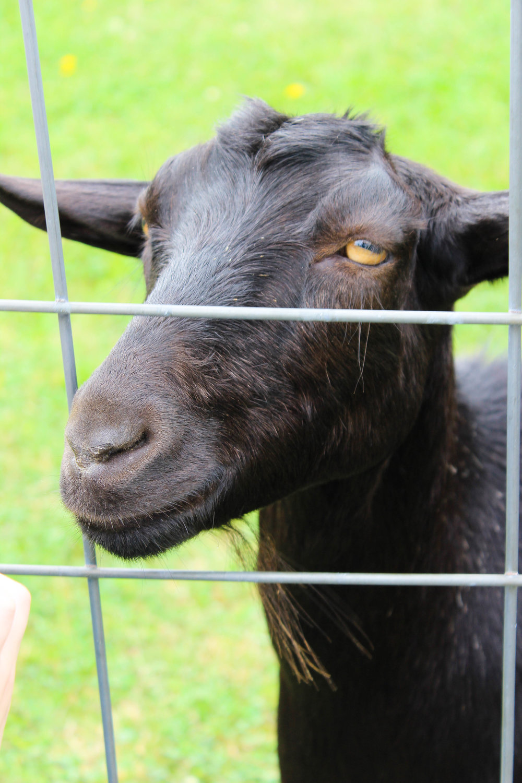 Colby Farm Goat_.jpg