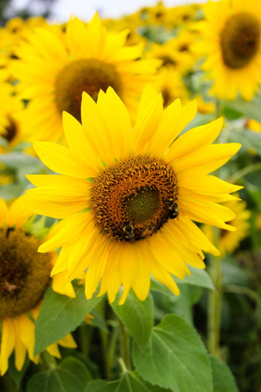 Colby Farm Sunflower Close Up.jpg
