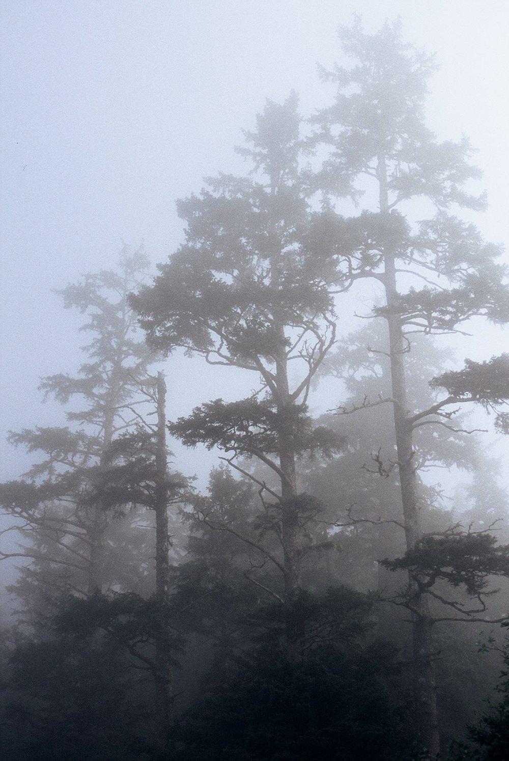 trees in mist.JPG