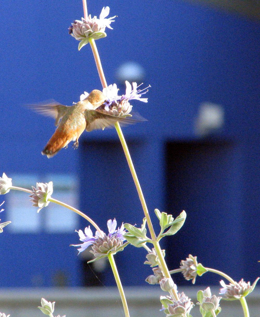 AOP-garden hummer.jpg