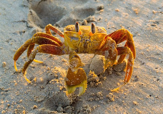 Hey Mr Crab . . . . . . . #freetowander #australiananimals #crab #befree #bekind