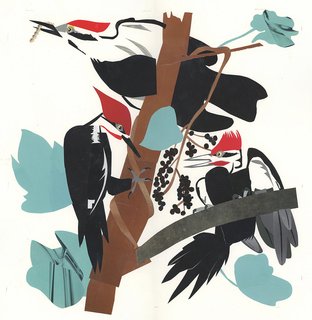 Pileated Woodpeckers (after John Audubon)---Audubon Magazine's Illustrated Aviary