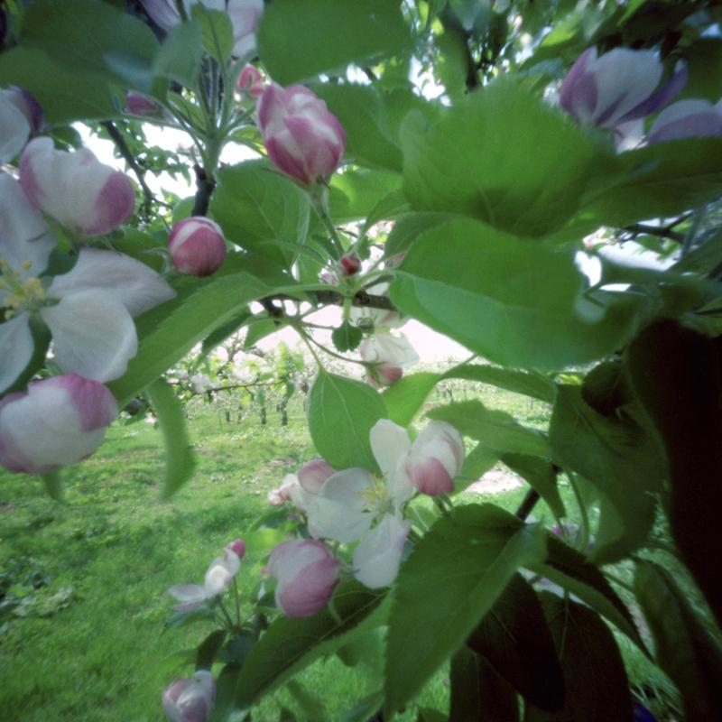 Apple Blossoms #1, Spring, Aomori Prefecture