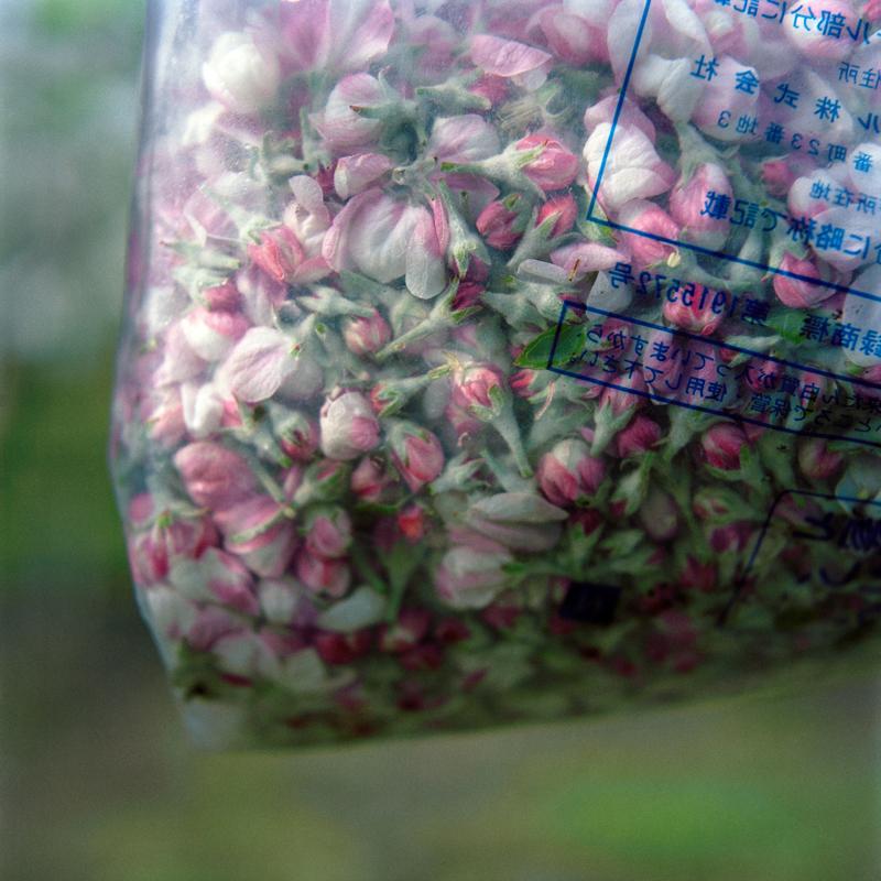 Collected Blossoms, Spring, Aomori Prefecture
