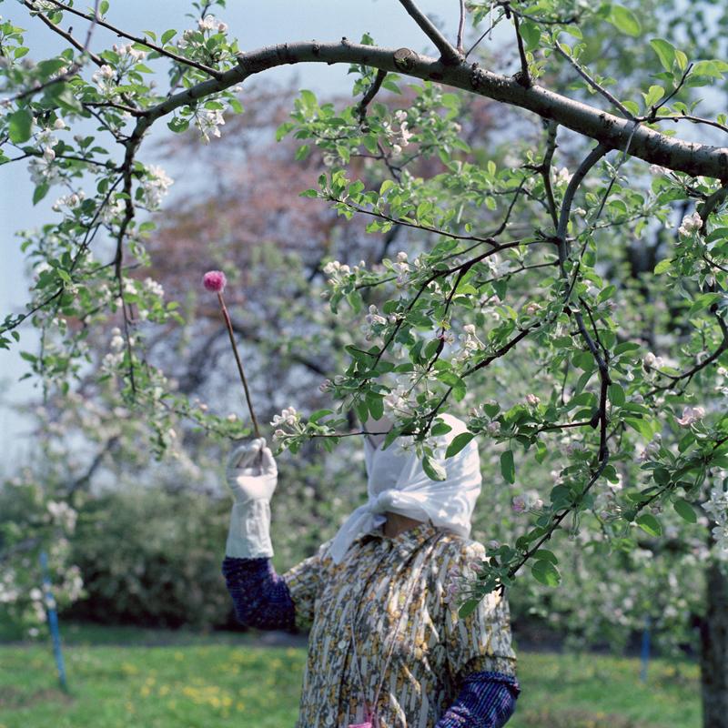 Hand Pollination #1, Spring, Aomori Prefecture