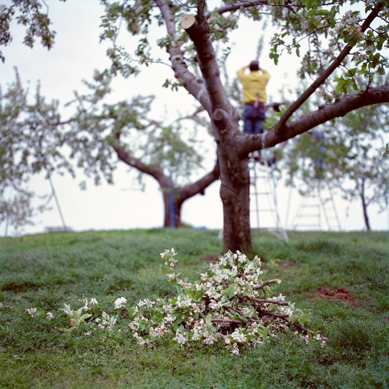 Culling Blossoms #1, Spring, Aomori Prefecture