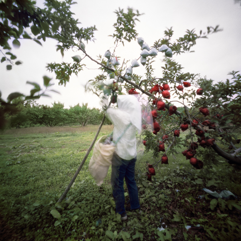 Removing Outer Bags #1, Fall, Aomori Prefecture