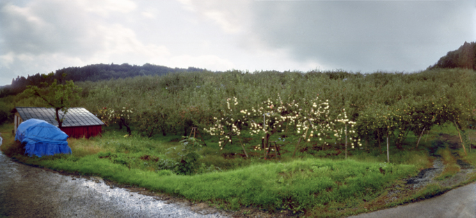 Newly Unbagged Apple Tree, Fall, Aomori Prefecture