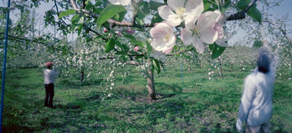 Hand Pollination #3, Spring, Aomori Prefecture