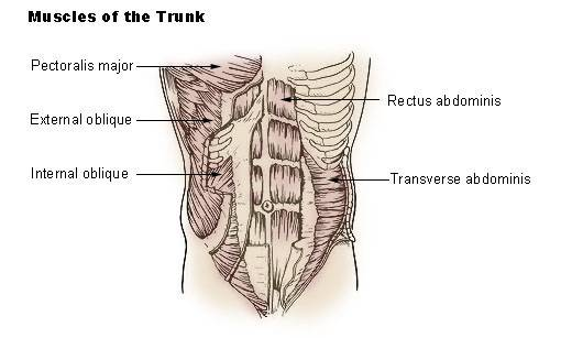 muscletrunk.jpg