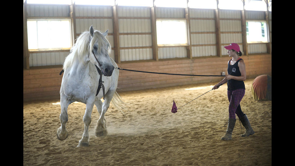 Trainer Shelby Piovoso works with Avalance, a nearly 30-year-old Persheron gelding, rescued from slaughter, during a training session at Gentle Giants Draft Horse Rescue in Mount Airy Friday, July 13, 2018.