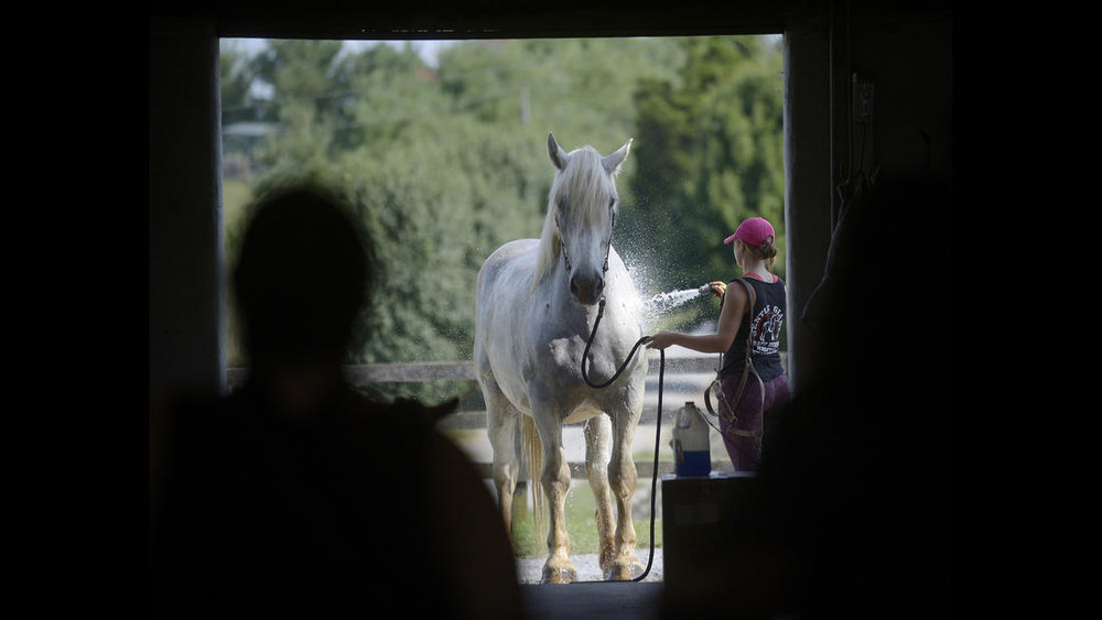 Trainer Shelby Piovoso washes Avalance, a nearly 30-year-old Persheron gelding, rescued from slaughter, at Gentle Giants Draft Horse Rescue in Mount Airy Friday, July 13, 2018.