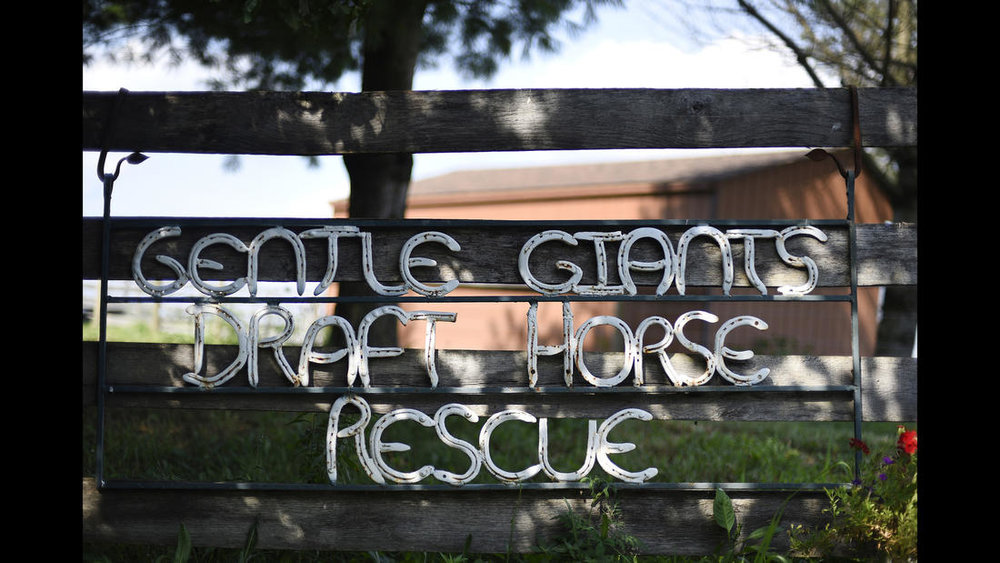 Gentle Giants Draft Horse Rescue in Mount Airy Friday, July 13, 2018. All photos by Dylan Slagle.