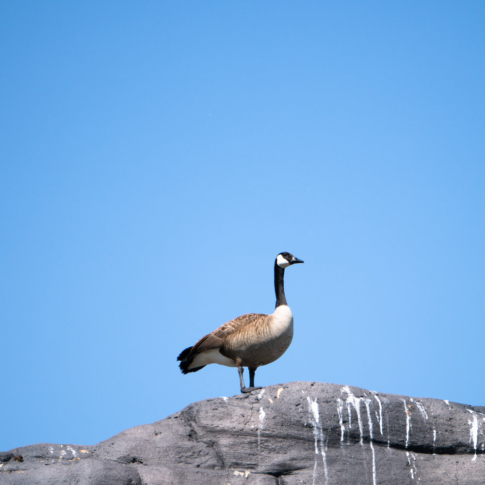 13 goose.jpg
