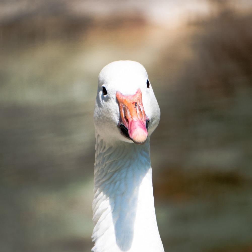 15 quackers.jpg