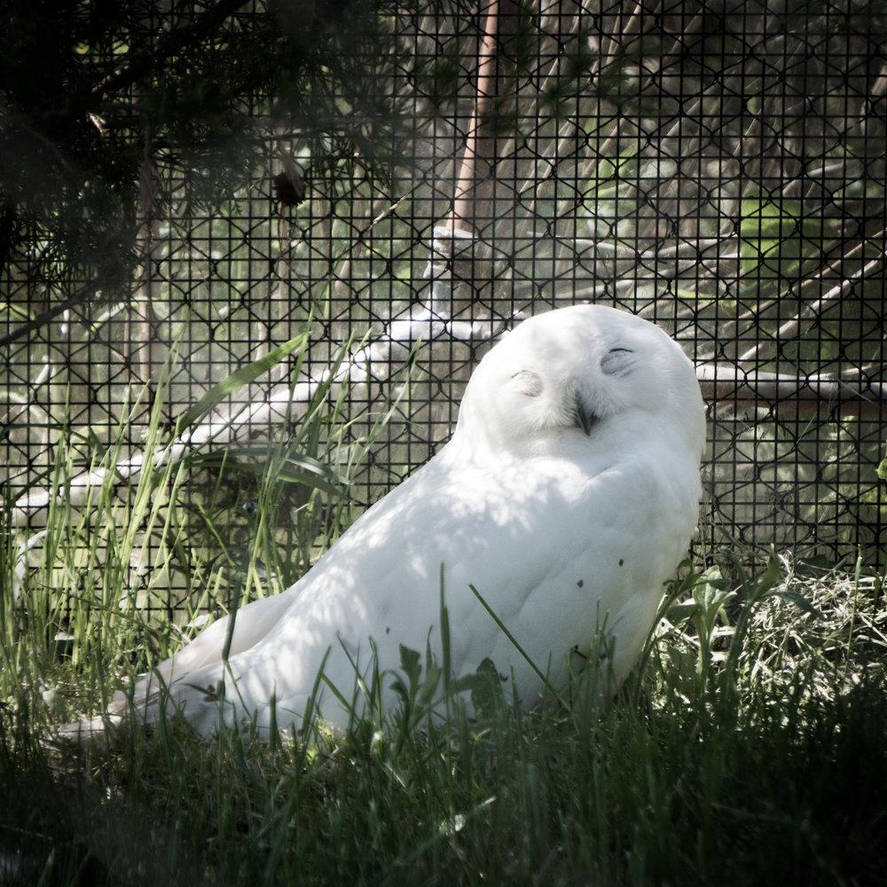 14 snow owl.jpg
