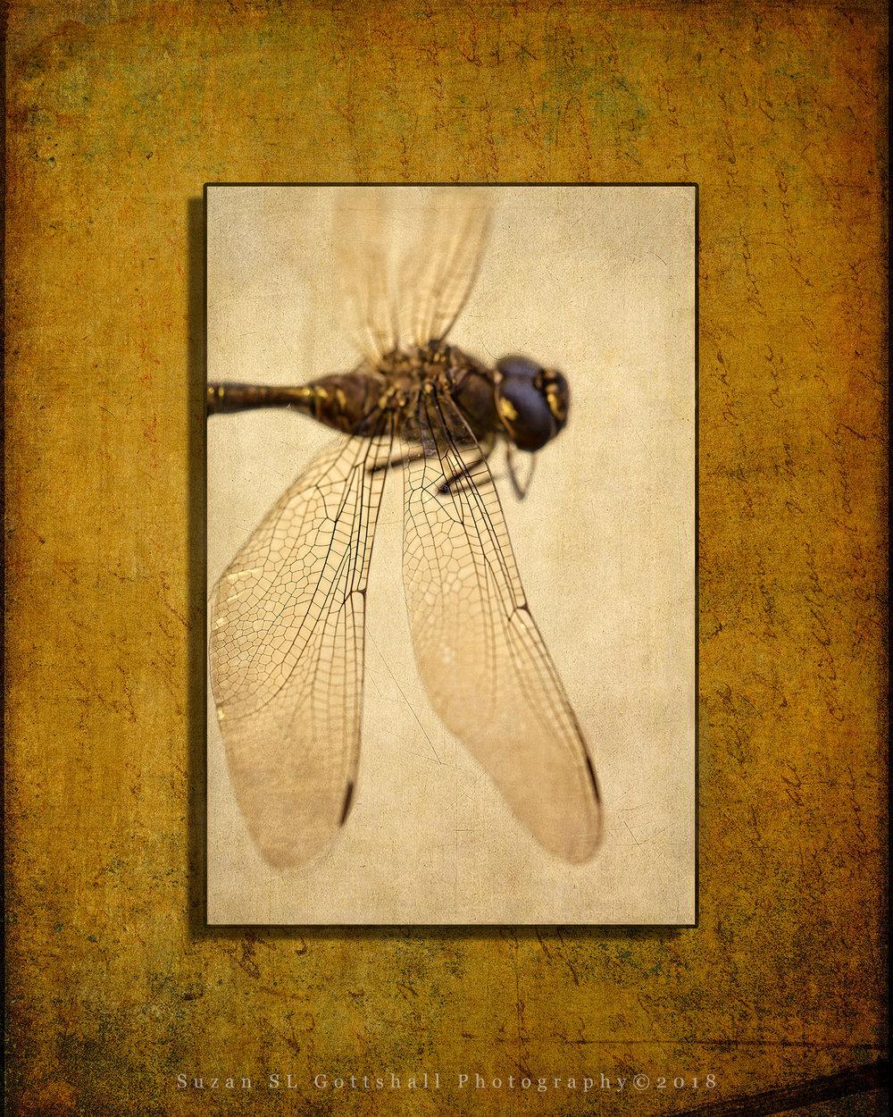 ws_dragonfly4_suzanslgottshall.jpg