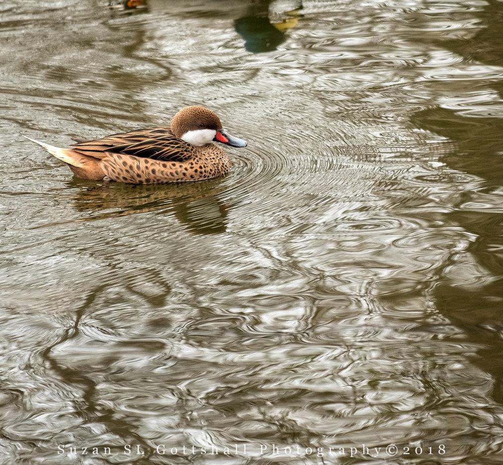 i_ducks_lambertville_suzanslgottshall1244 copy.jpg