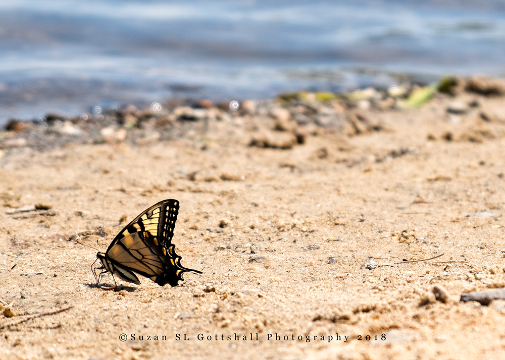 ws_butterfly_inthe_sand_©suzanslgottshall_DSF2716.jpg