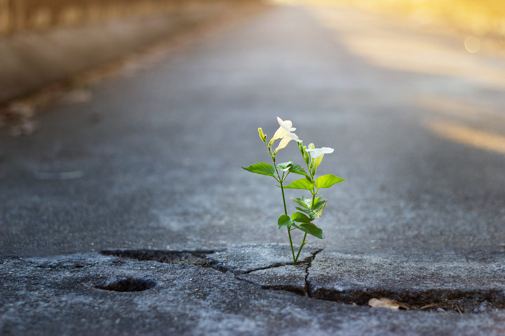 white-flower-growing-on-crack-street,-soft-focus-638139214_4500x3000.jpeg