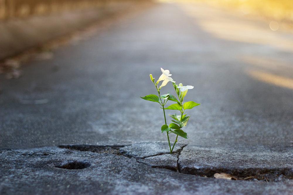 white-flower-growing-on-crack-street,-soft-focus-638139214_4500x3000.jpeg