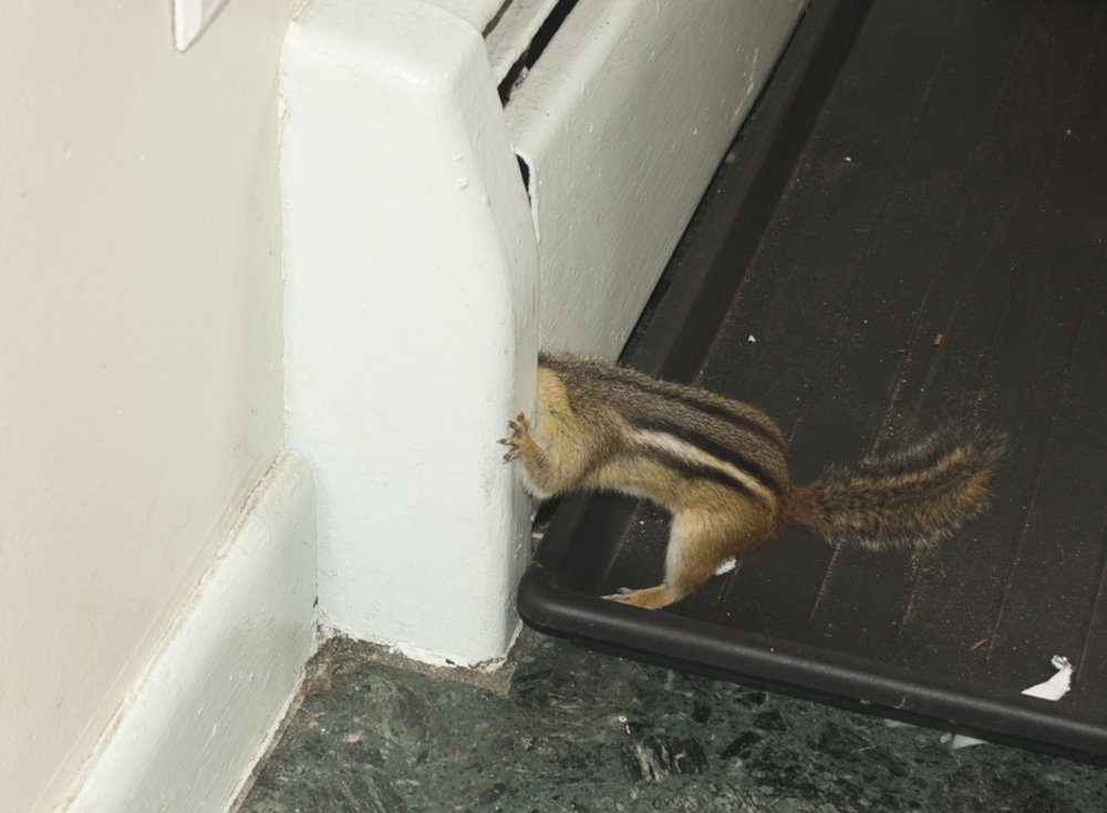 Chipmunk Stuck.jpg