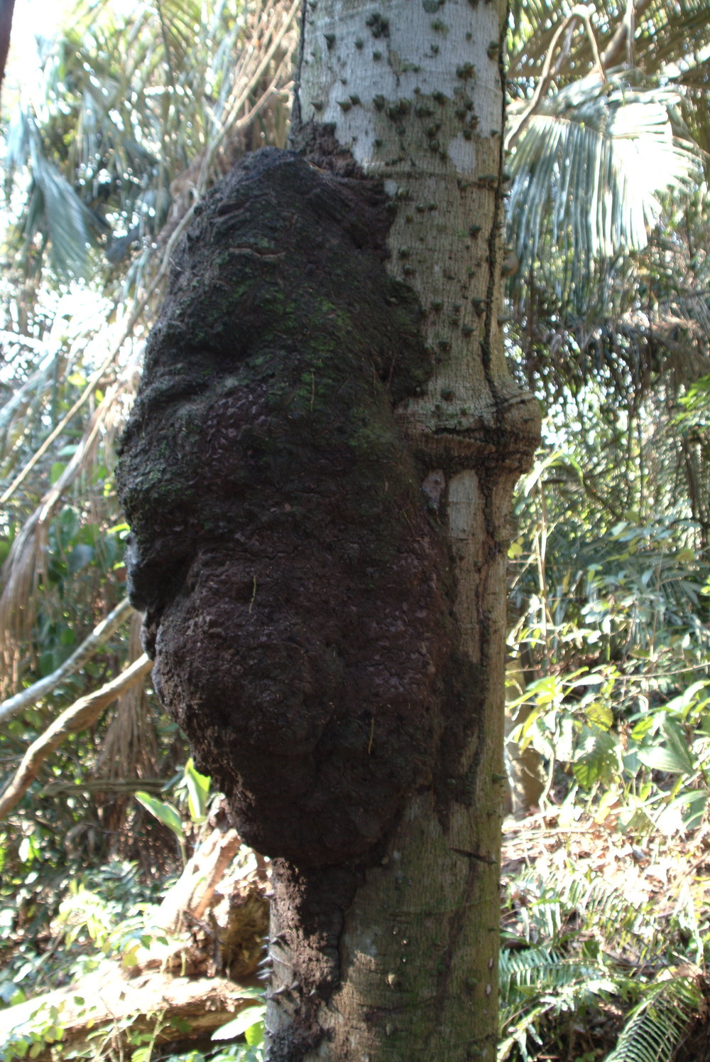 Ant or Termite nest Amazon