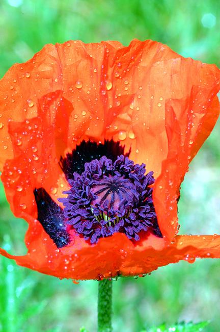 red Flower3.jpg