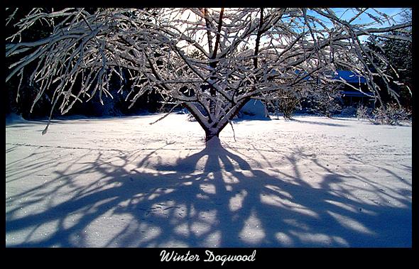Winter Dogwood.jpg