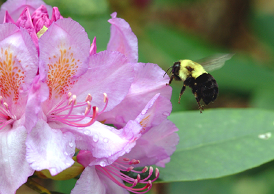 Bee on Rhodi.jpg