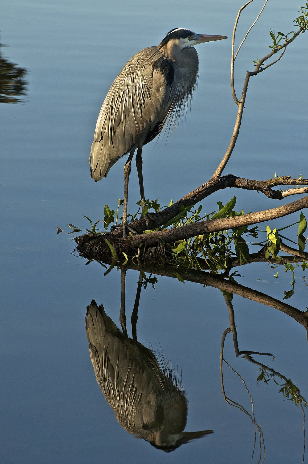 Reflections of a Blue Heron