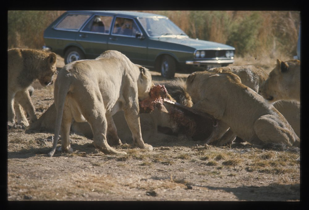 Here the lions were thrown a dead horse. You can drive right up and watch and smell.