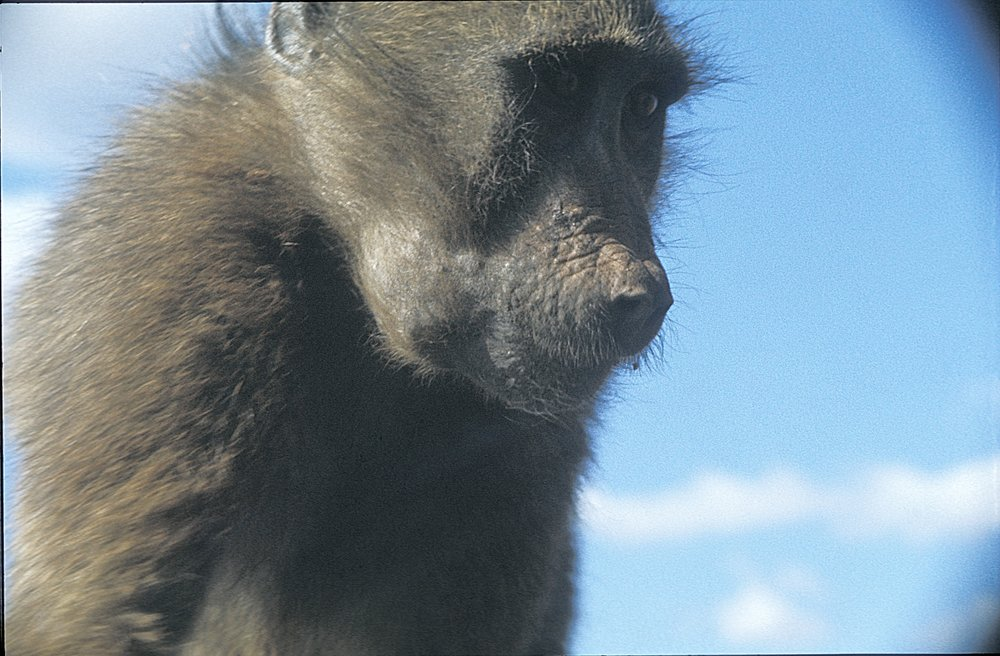 The baboons will sit on your car hood and if you spray the windshield water they drink it. Keep in mind the winters are warm here so it is straight water from the tap.