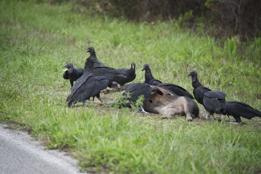 Tristan and I drove by a bunch of vultures one time. We stopped to check out what they had and it was a Ferel Hog. Must have just died as there was no smell and the carcass was almost intact.
