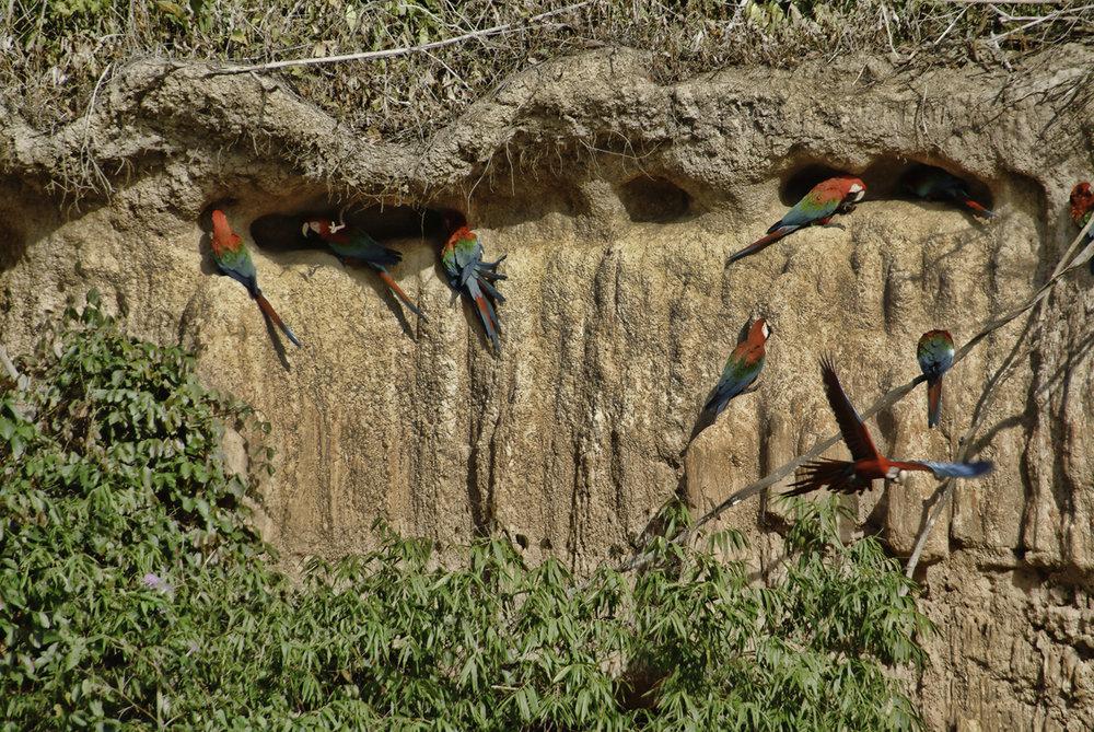 Macaws2W.jpg