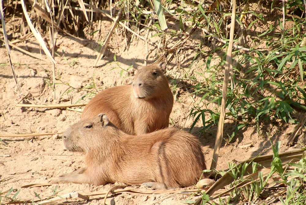 Capybaras and yes they are massive.