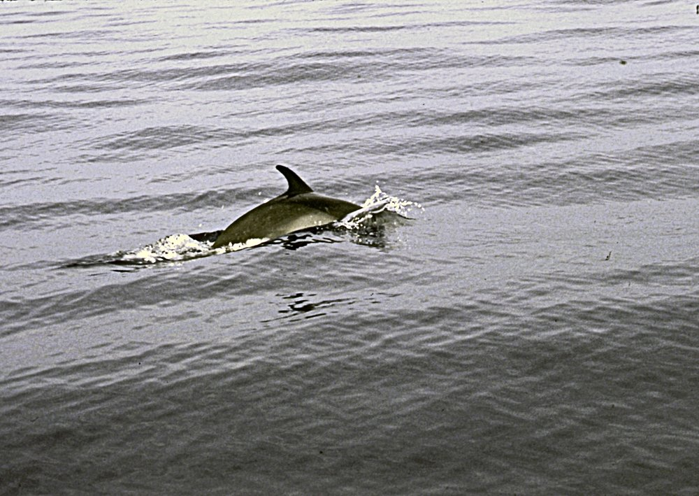 Saw this dolphin just before Beth caught a beautiful sailfish--we pulled it in together.