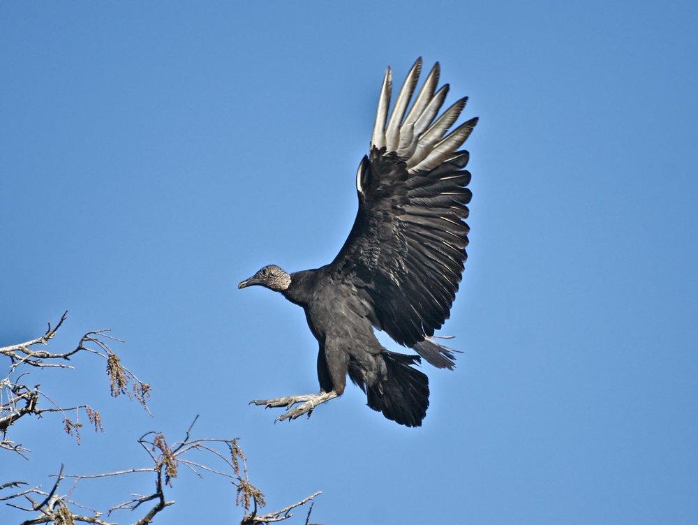 VultureFlight1.jpg
