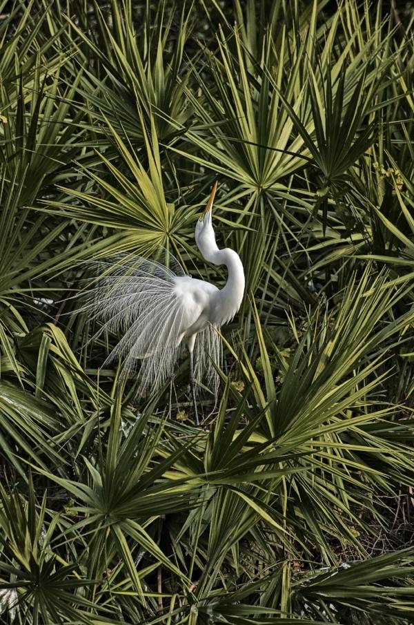 Proud Egret.jpg
