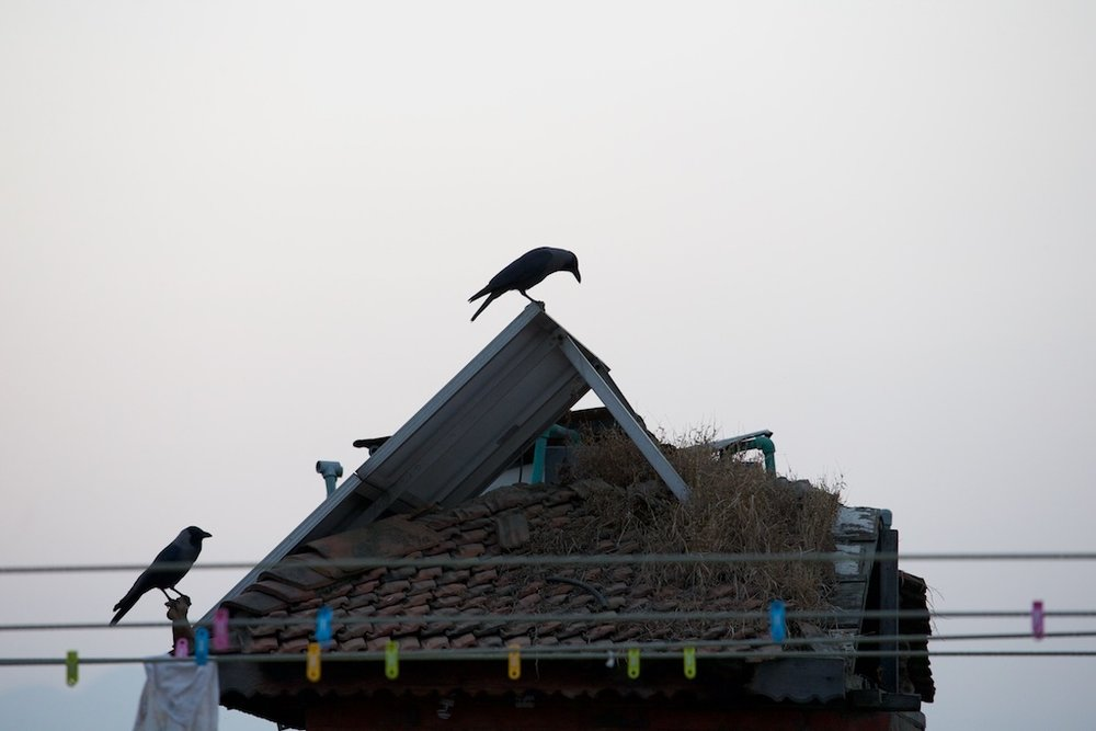 Crows, Nepal