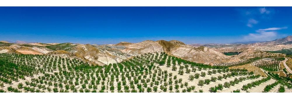 Olive Pano-3.jpg