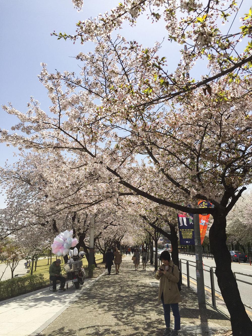 seoul_cherry_blossoms