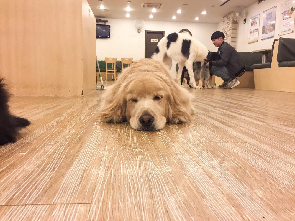 Golden Retriever Seoul Dog Cafe