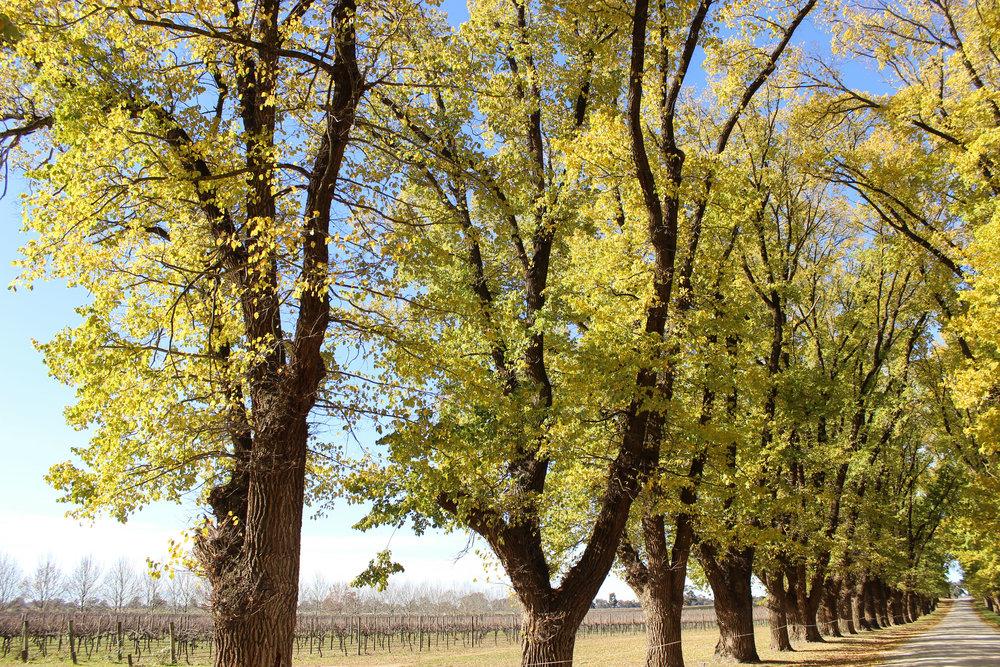rutherglen_nature_trees_allsaints