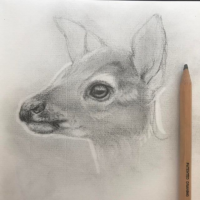 Doe. Pencil on paper.